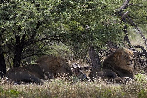 Lions resting in Etosha National Park