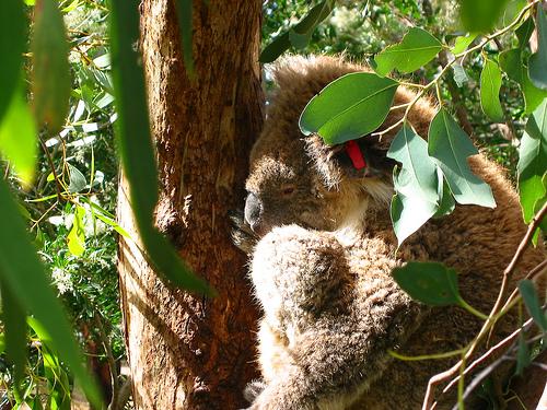 Koala from Koala Sanctuary on Philip Island