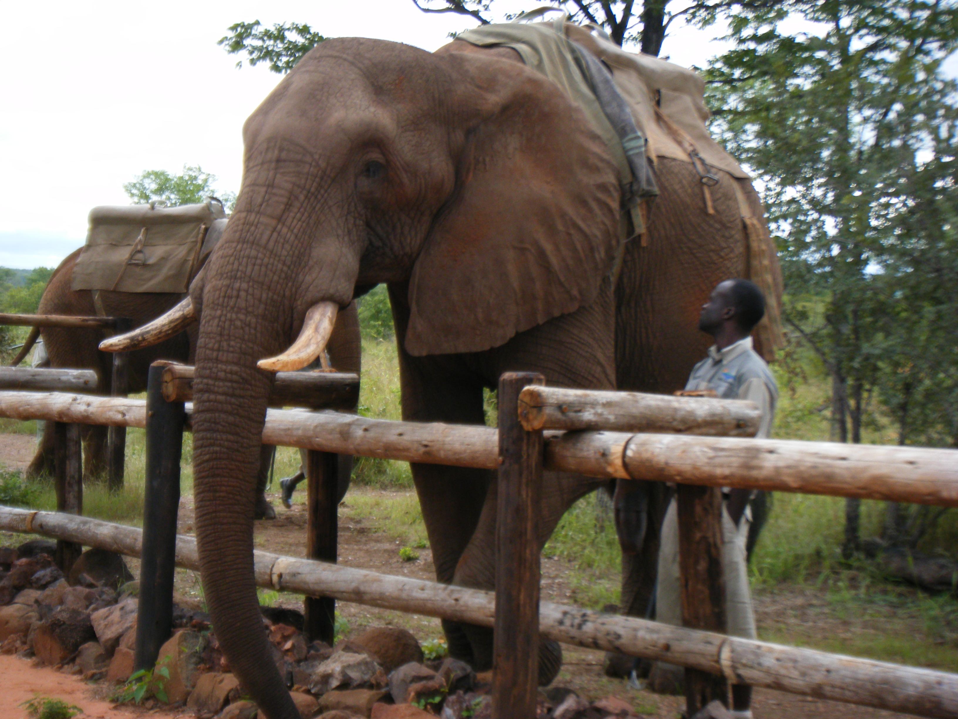 Elephants preparing for the Elephant Back Safari