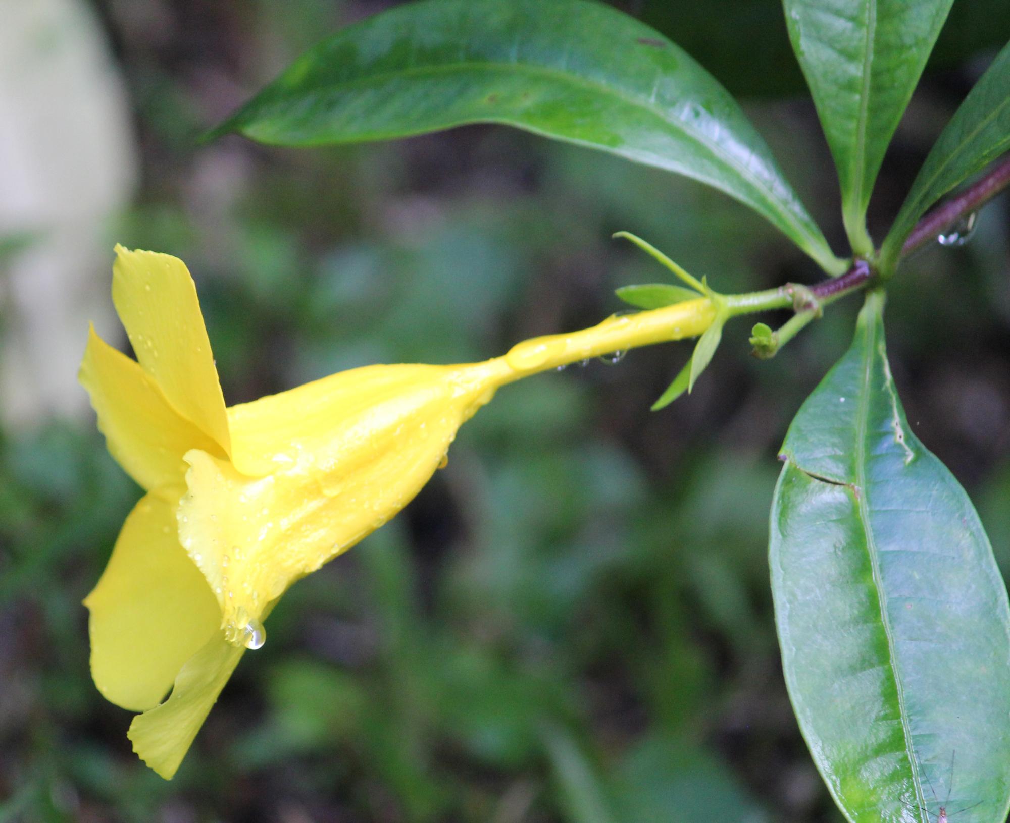 Flower - Peruvian Rainforest