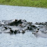 Hippos cooling off in the Botswana